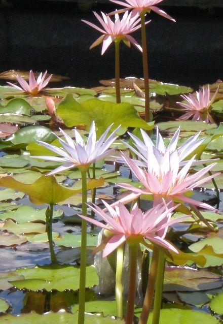 a t w a t e rs e d g e pinterest pond lotus flowers mightylinksfo