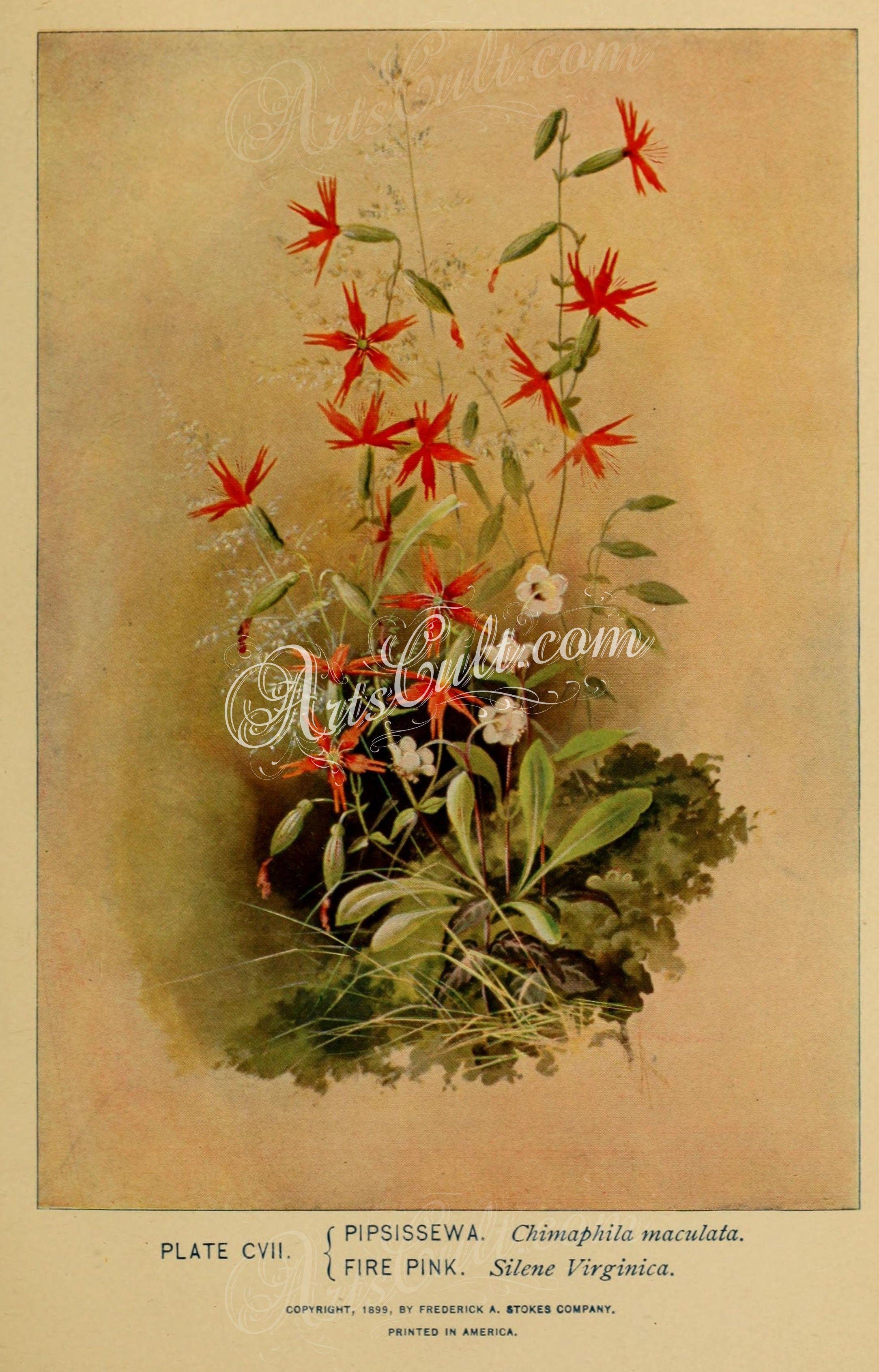 Flowers 30915 Pipsissewa Chimaphila Maculata Fire Pink Silene