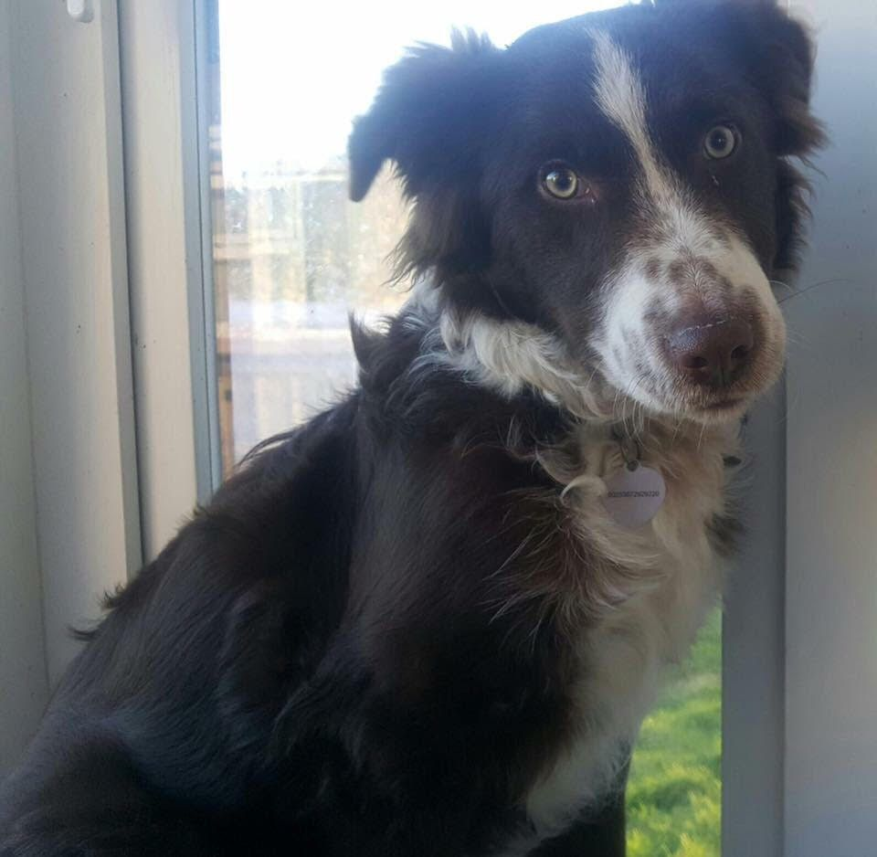 Max 7 Month Old Male Border Collie Cross English Springer Spaniel