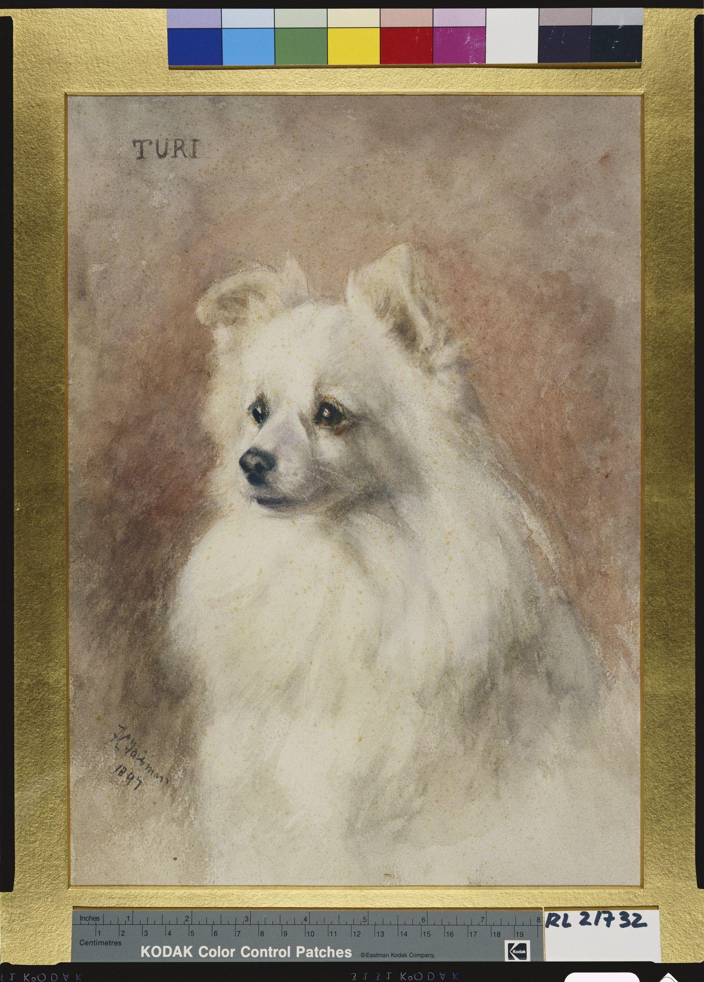 GERMAN SPITZ POMERANIAN LOVELY HEAD STUDY OLD DOG PRINT FROM 1934