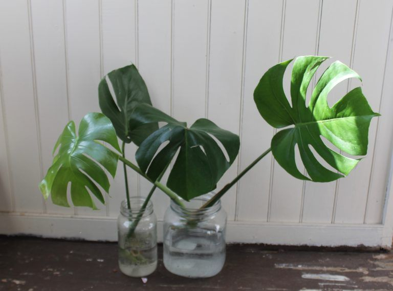 How To Propagate A Monstera Deliciosa Leaf And Paw Plants Grown In Water Monstera Deliciosa Propagating Plants