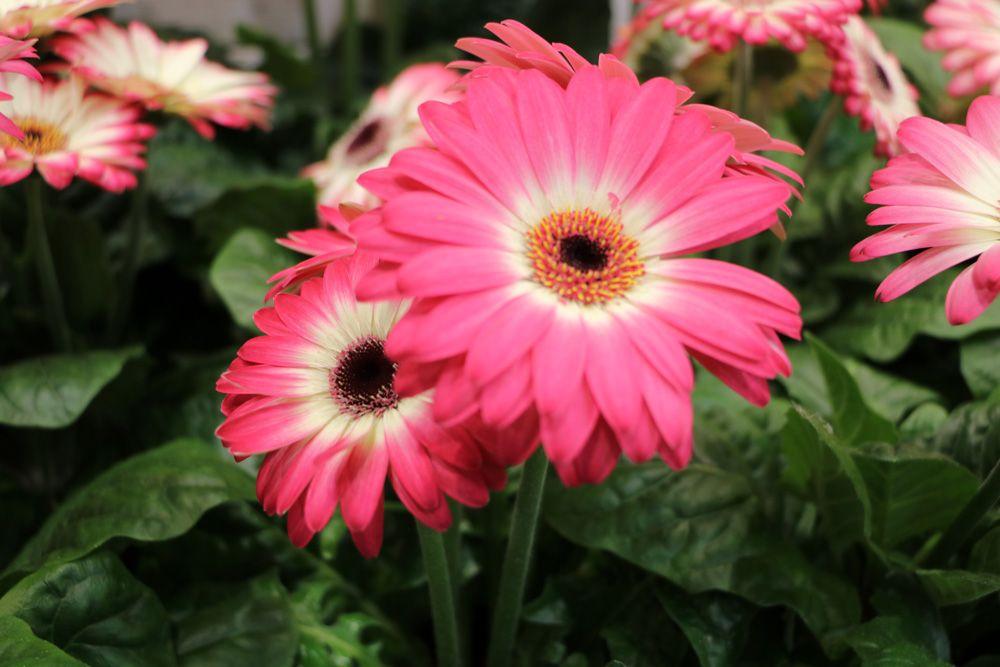 Gerbera Pflanzen Schlafzimmer Pflanzen Sommerblumen