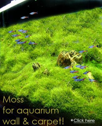 how to grow aquarium moss from seed