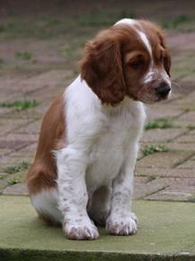 Welsh Springer Spaniel Spaniel Puppies Springer Spaniel Puppies Welsh Springer Spaniel