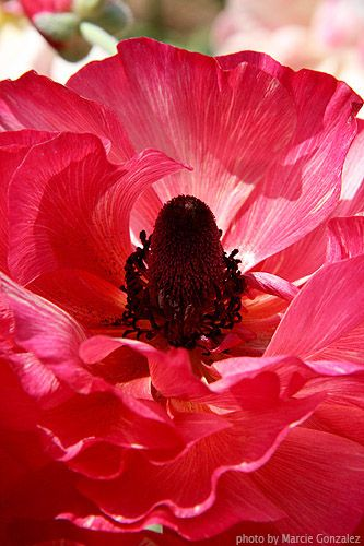 Close Up Of A Pink Ranunculus At The Flower Fields Flower Field Beautiful Flowers Flowers