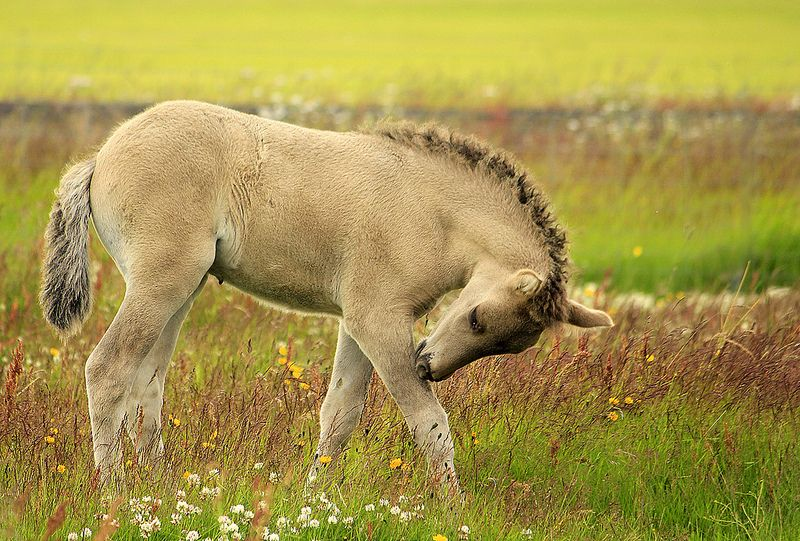Icelandic foal | Flickr - Photo Sharing!