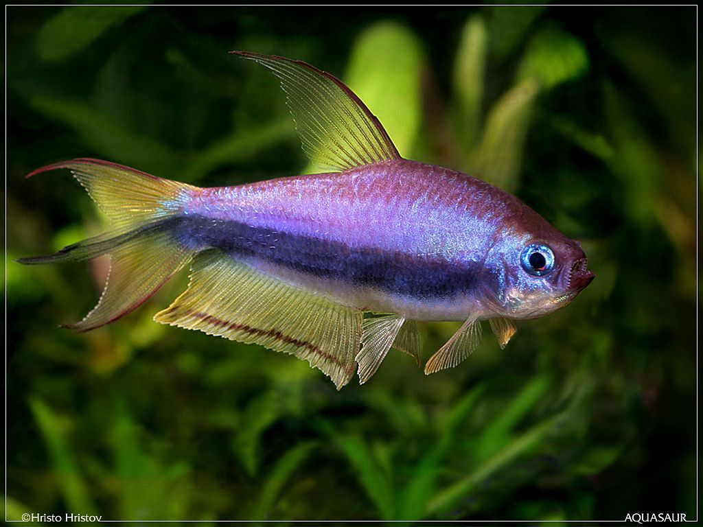 Neon tetra for sale aquariumfish net - Green Neon Tetra Paracheirodon Simulans Freshwater Favourites Pinterest Neon Aquariums And Fish