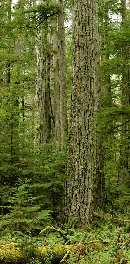 Douglas Firs And Sitka Spruce  by Robert Postma