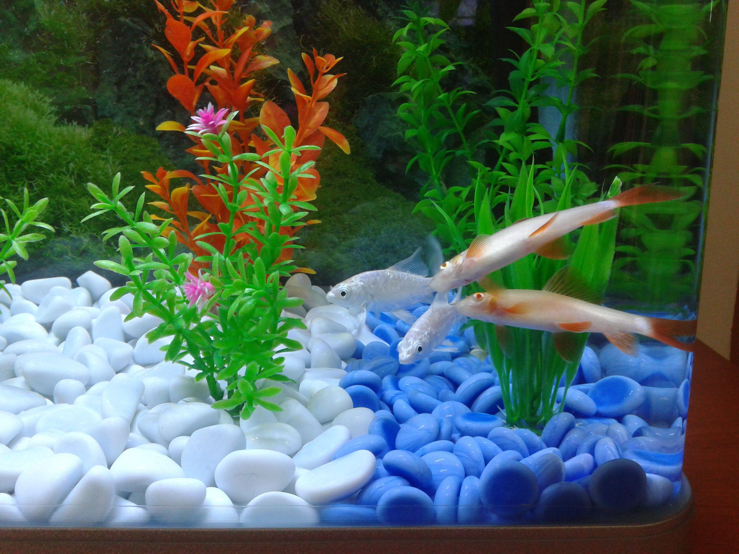 Two Albino Rainbow Sharks In A Single Tank Big Mistake Single Tank Plants Photography