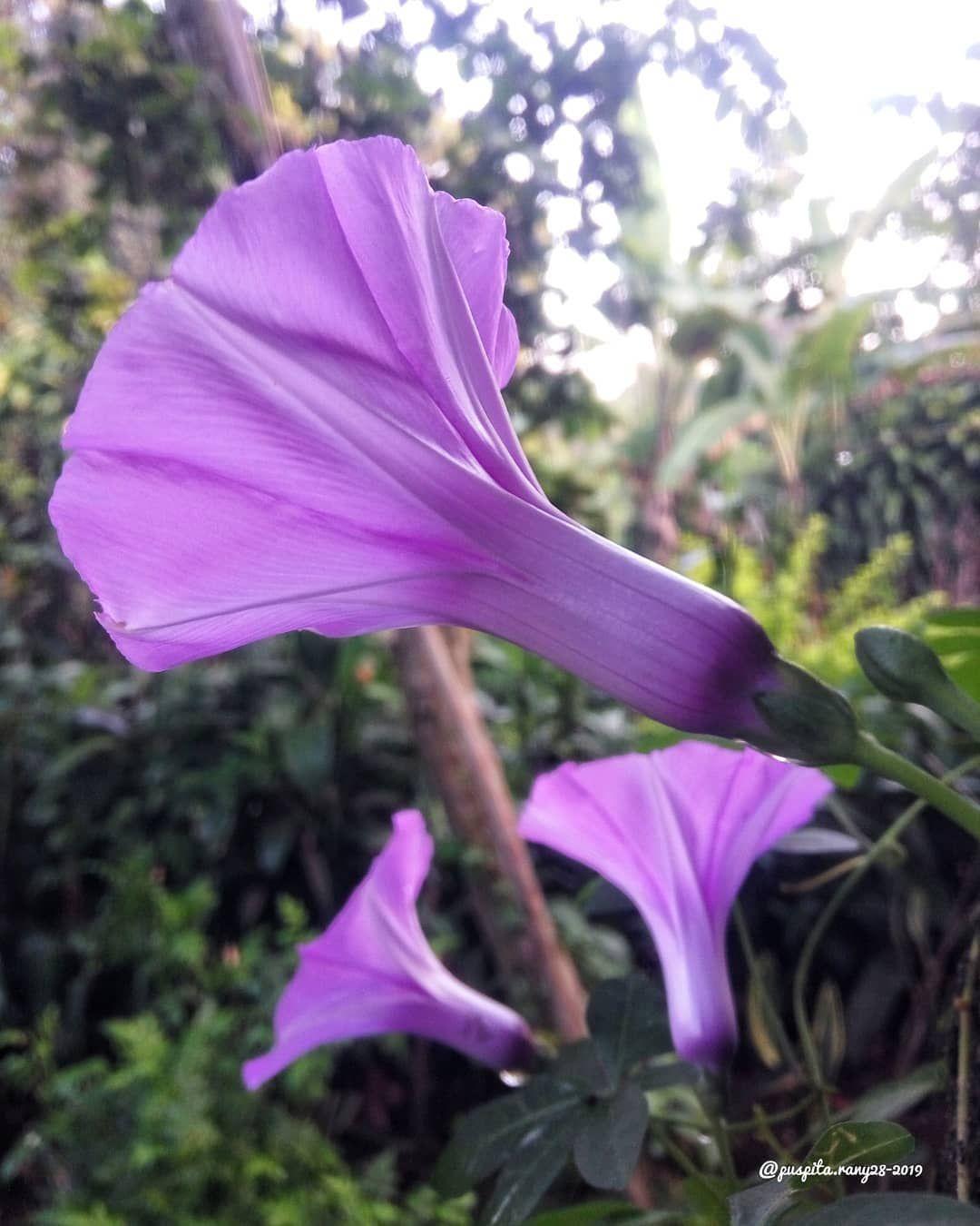 Assalamualaikum Alhamdulillah Disambut Warna Ungu Nan Cantik Dari Bunga Morningglories Pagi Ini Ma Syaa Allah Tabaarakallah Morning Plants