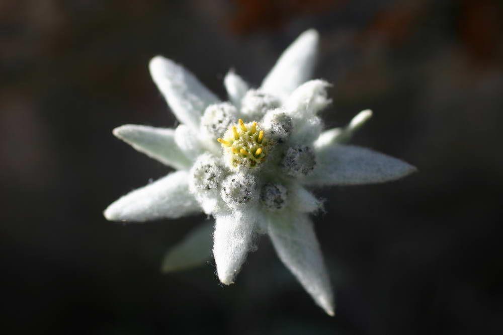 Edelweiss porte bonheur good luck pinterest fleurs fleurs des alpes et fleurs de montagne - Coloriage fleur edelweiss ...
