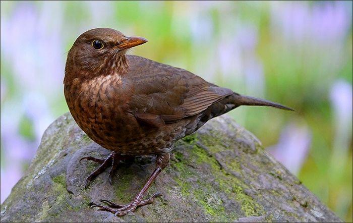 Amsel Jahreszeiten Galerie Community Vogelwelt Tiere