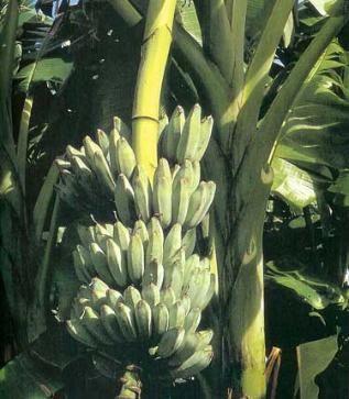 Musa Ice Cream Blue Java Ice Cream Banana Tree Sun Ps 10 15 Feet Cold Hardy To Zone 8 But Still Needs Protect Banana Ice Cream Banana Plants Banana Tree