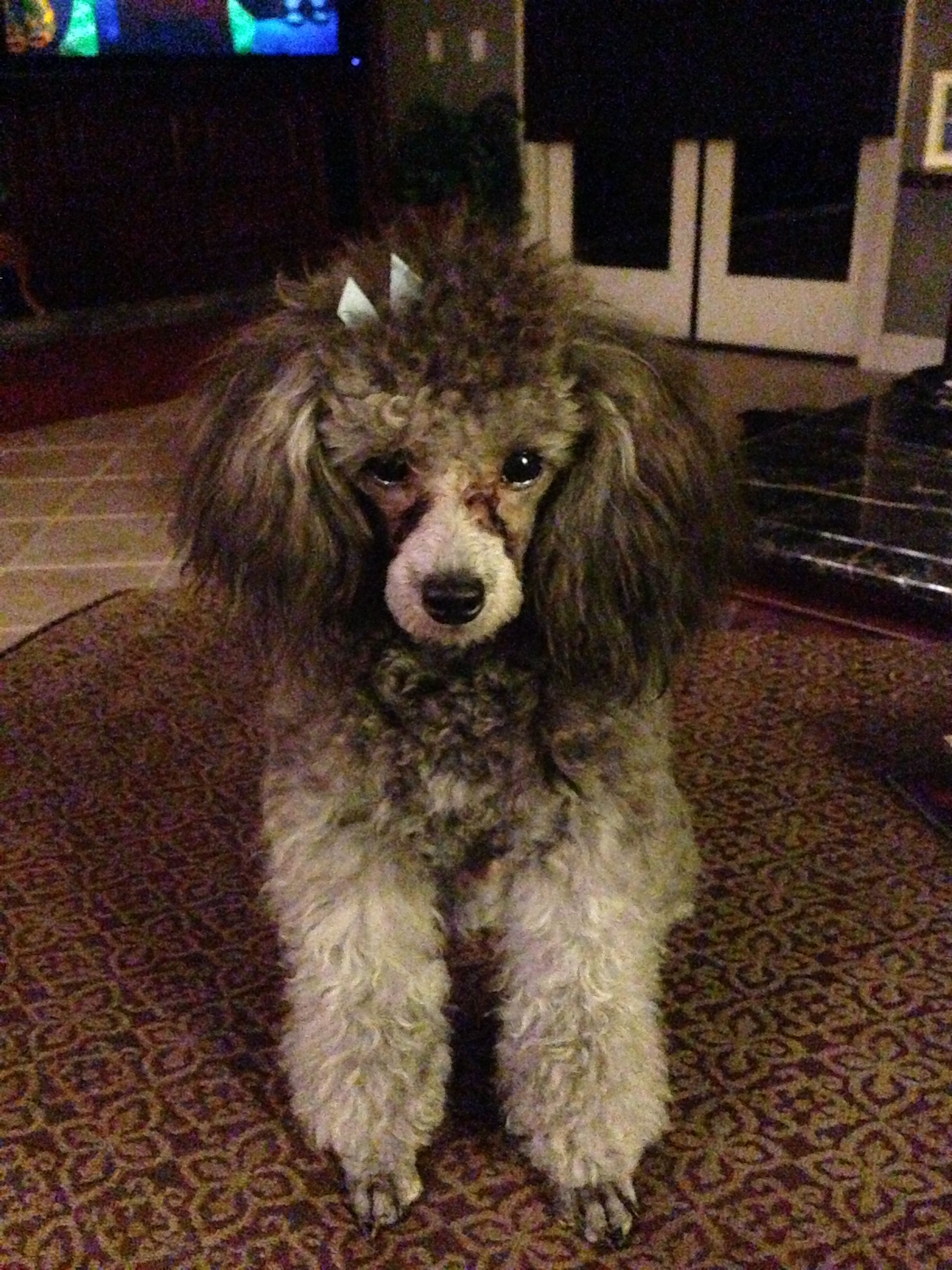 Aramis 2 Years A Very Sweet Boy Toy Poodle Poodle Dogs
