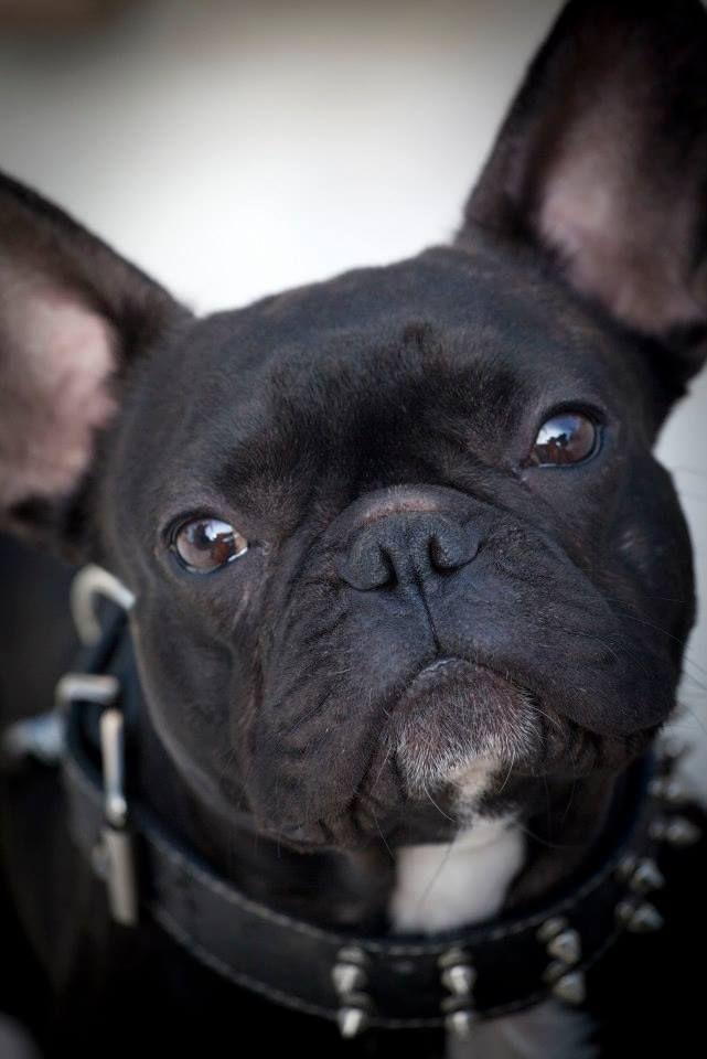 """J'taime!"" #dogs #pets #FrenchBulldogs Facebook.com/sodoggonefunny"