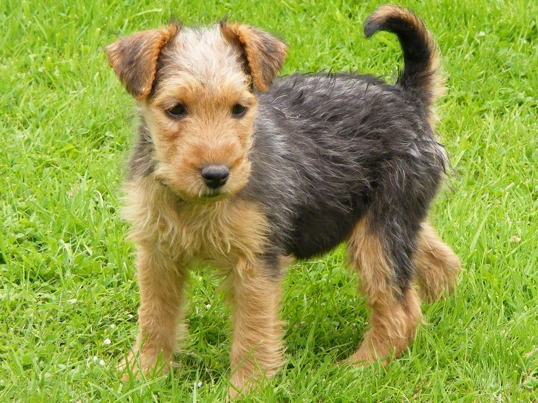 Lakeland Terrier Info Temperament Training Puppies Pictures