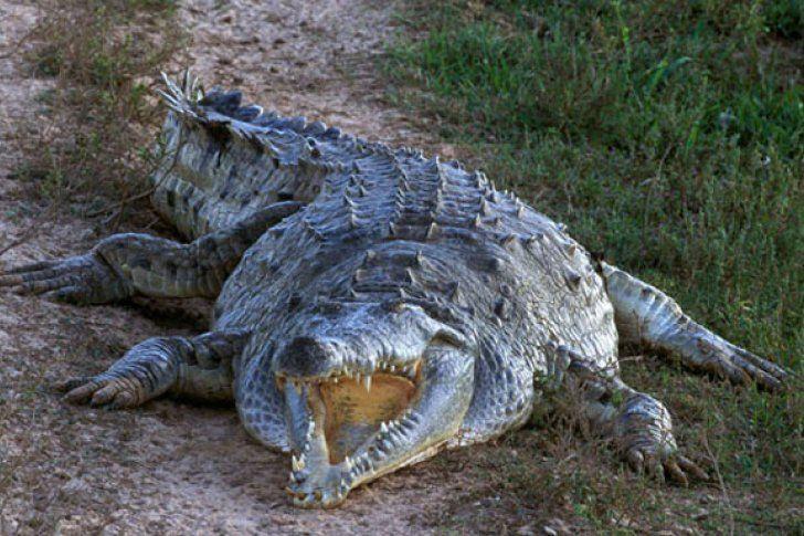 Liberan a 170 caimanes del Orinoco para preservar su especie