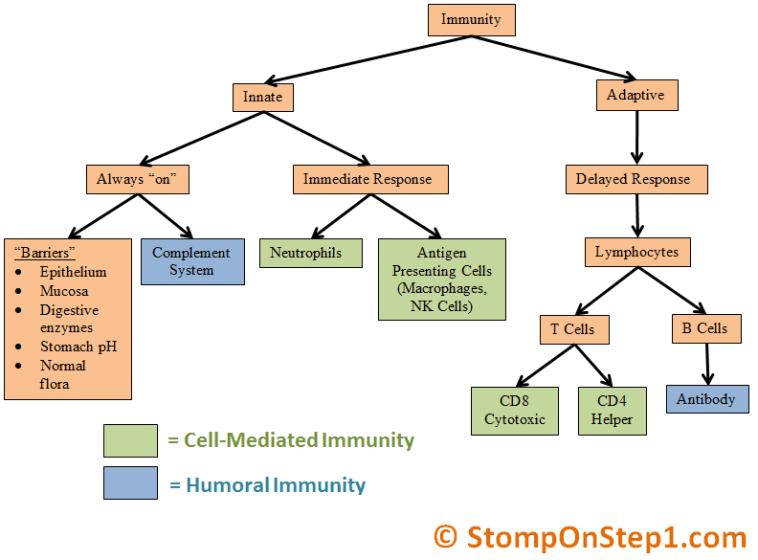Innate immunity vs adaptive immune system humor cell mediated also rh pinterest