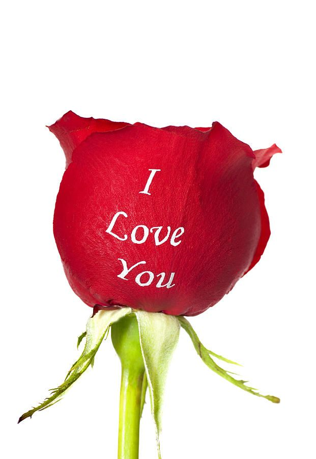 Rose Image With I Love You Beautiful Pictures Of Roses In 2020 Beautiful Red Roses Rose Images Beautiful Red Roses Images