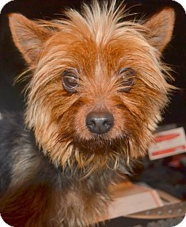 NC Yorkie Rescue (With images) Yorkshire terrier, Yorkie