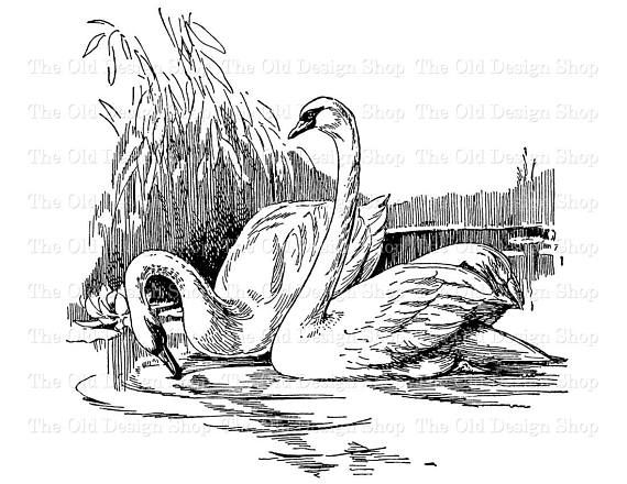 swans swimming clip art illustration digital stamp transfer image in