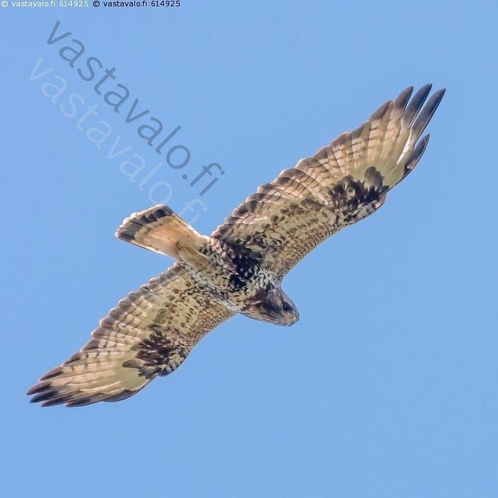 Piekana - piekana Buteo lagopus petolintu päiväpetolintu haukka lentää lento…
