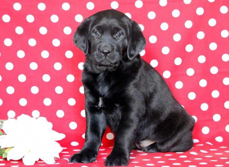 Determine More Details On Golden Labrador Take A Look At Our Site In 2020 Labrador Puppies For Sale Golden Labrador Puppies Labrador Puppy