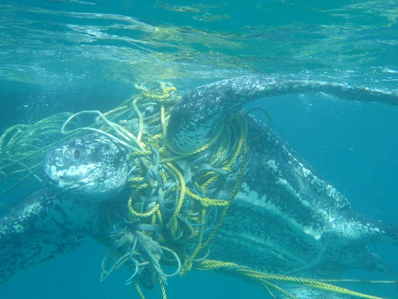 Plastic pollution turtles are dying after becoming tangled in plastic pollution sciox Image collections