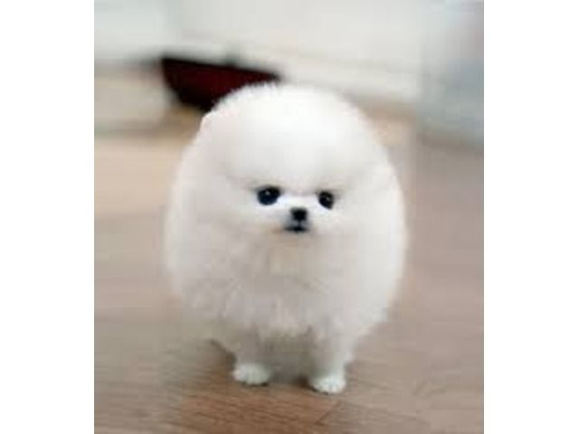 Toy Face Looking Teacup Pomeranian Puppies For Adoption Teddy Bear Puppies Pomeranian Puppy Teacup Cute White Puppies