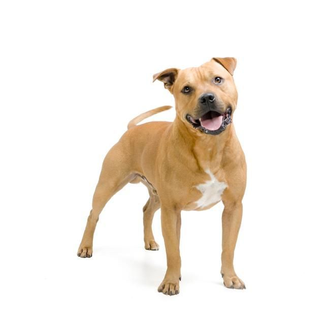 Staffordshire Bull Terrier Stafford Hunderasseprofil Bull