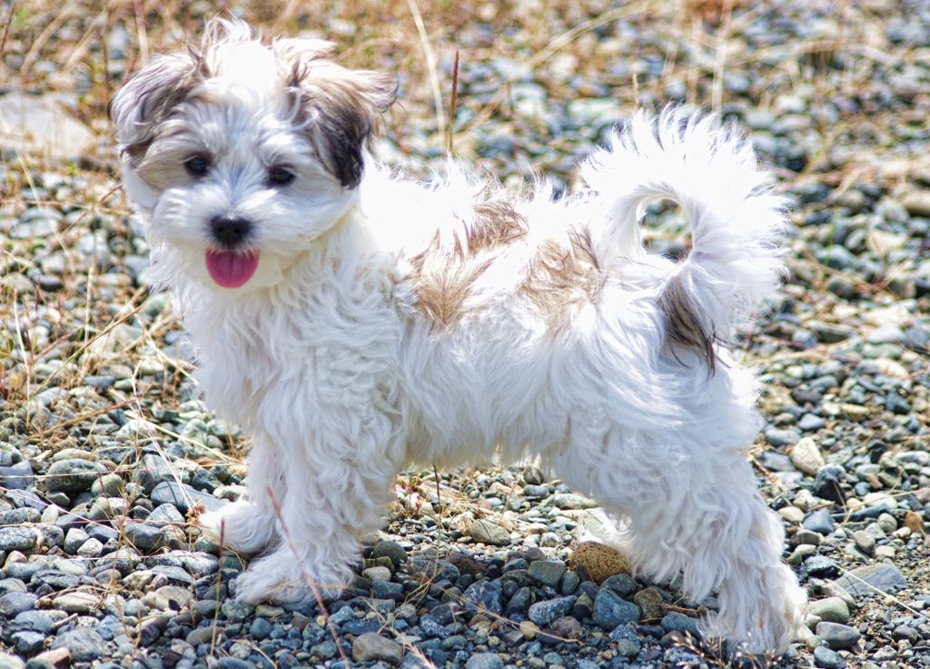 A shih tzu (English ; ) is a toy dog breed weighing with