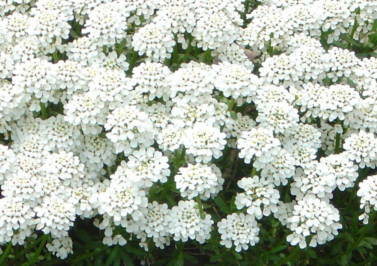 Names Of White Flowers Little White Flower Photos