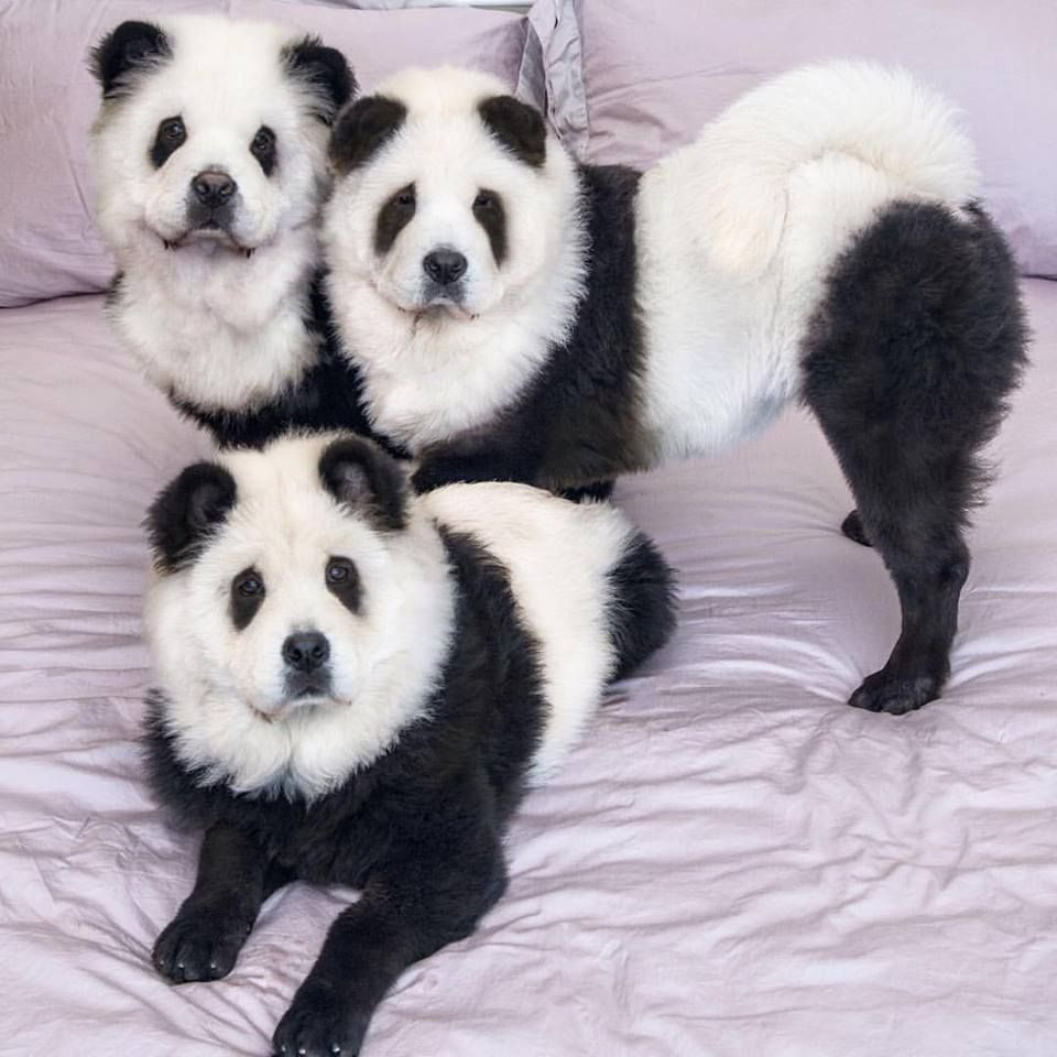Cute Fluffy Panda Chow Chow Panda Bear Pet Birds Chow Chow