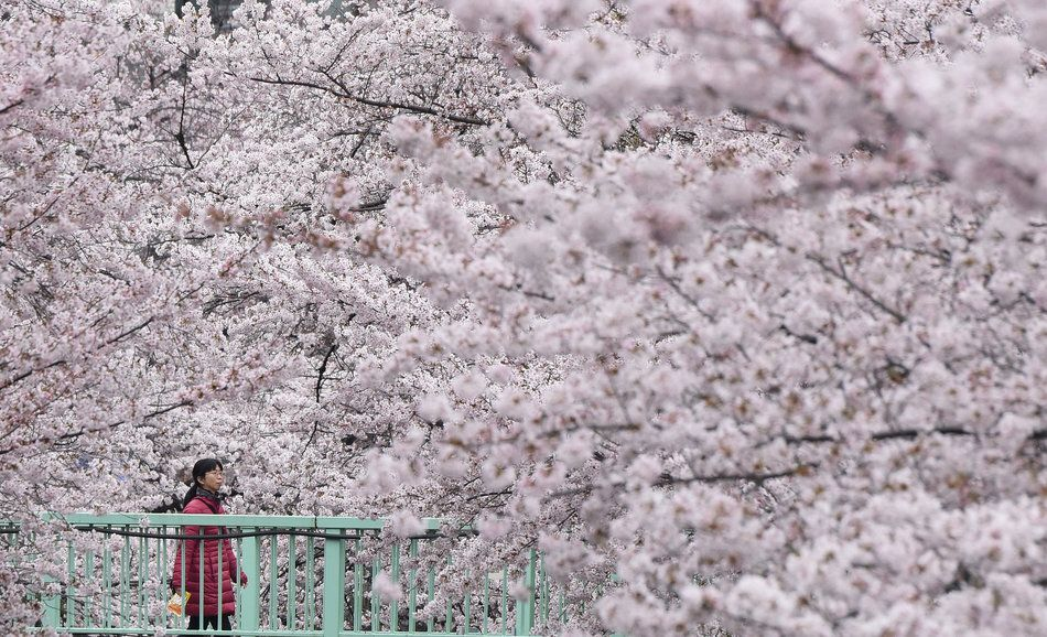 Japan S Emperor Akihito Reportedly Plans To Abdicate The Throne Cherry Blossom Japan Japan Cherry Blossom Season Cherry Blossom Season