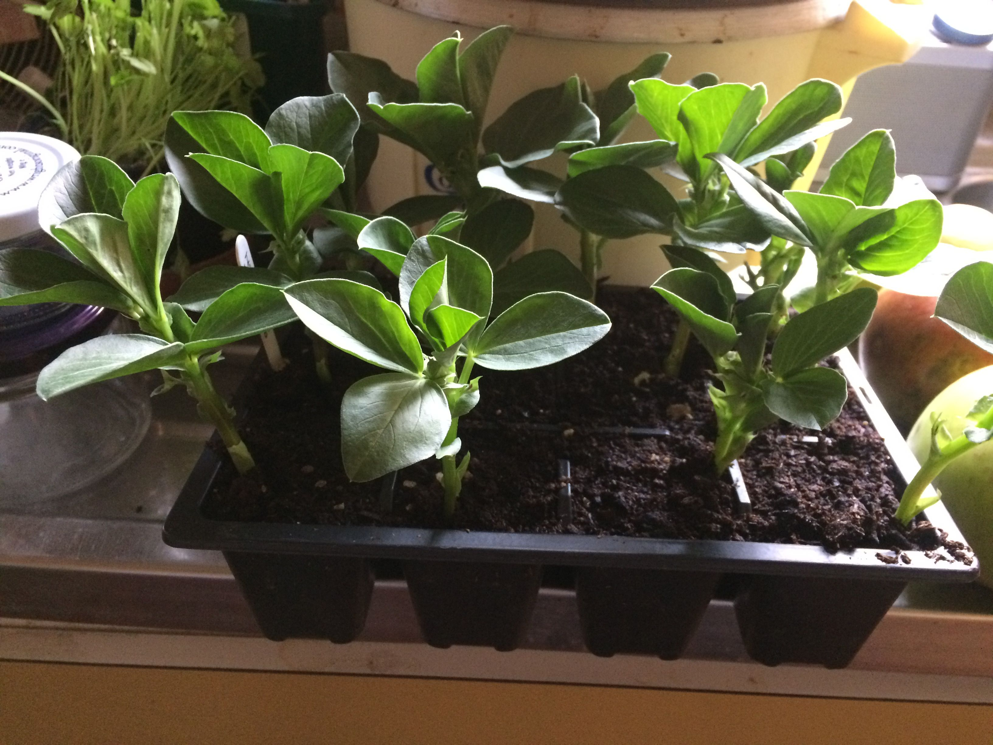 Broad Bean Plants On Sale At The Market Oxted Country 400 x 300