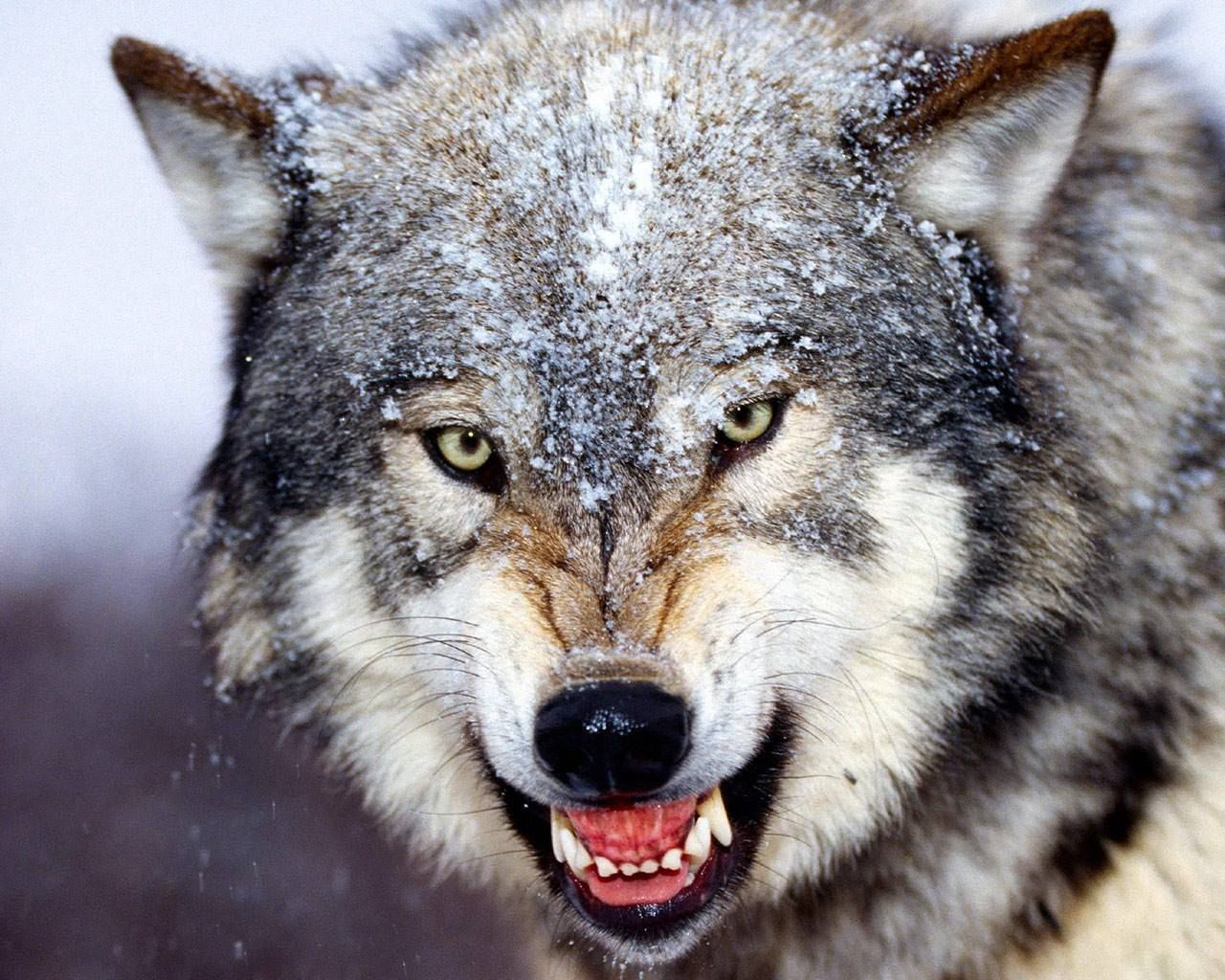 Image result for wolf showing teeth