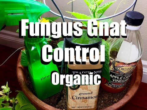 How to Control Fungus Gnats Organically // Growing Your Indoor Garden #8 #gnats