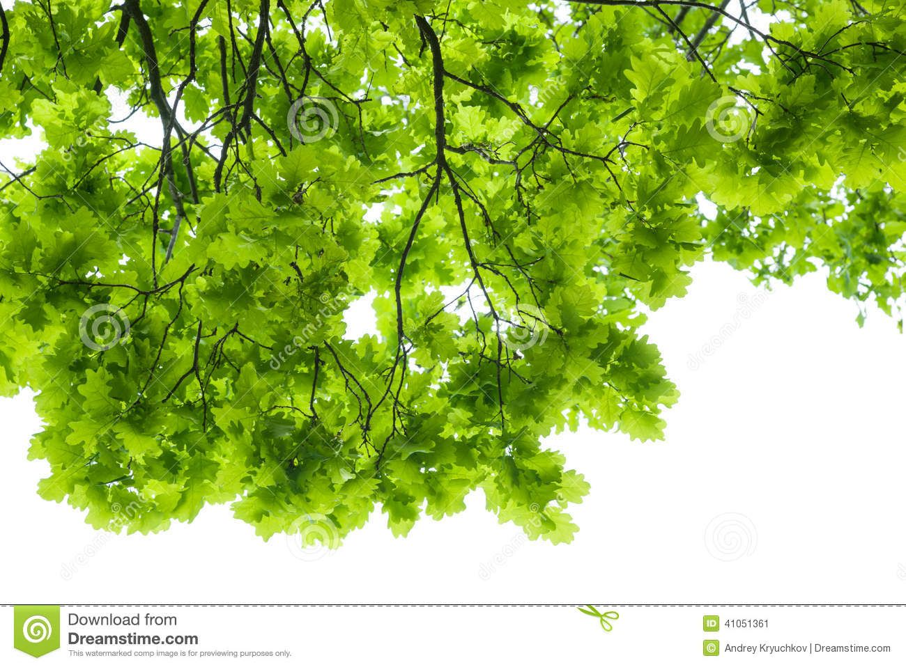 thumbs.dreamstime.com z oak-tree-leaves-isolated-white-41051361.jpg