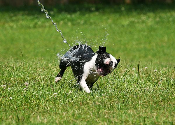 Adorable Boston Terrier