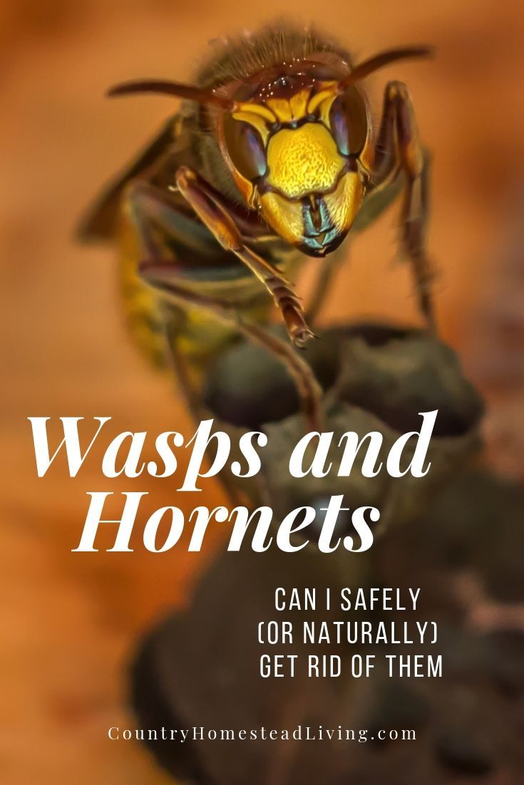 Can i safely or naturally get rid of wasps and