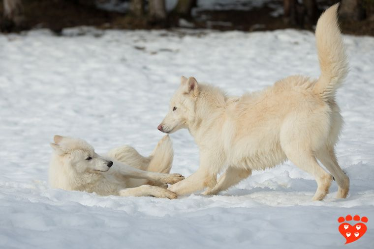Wolf Play