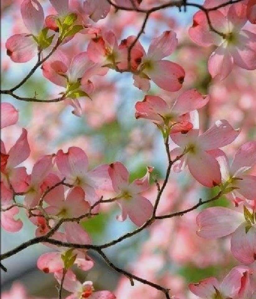 I Love Cherry Blossom Trees Too Now To Just Color In My Back Pink Flowering Trees Dogwood Trees Dogwood
