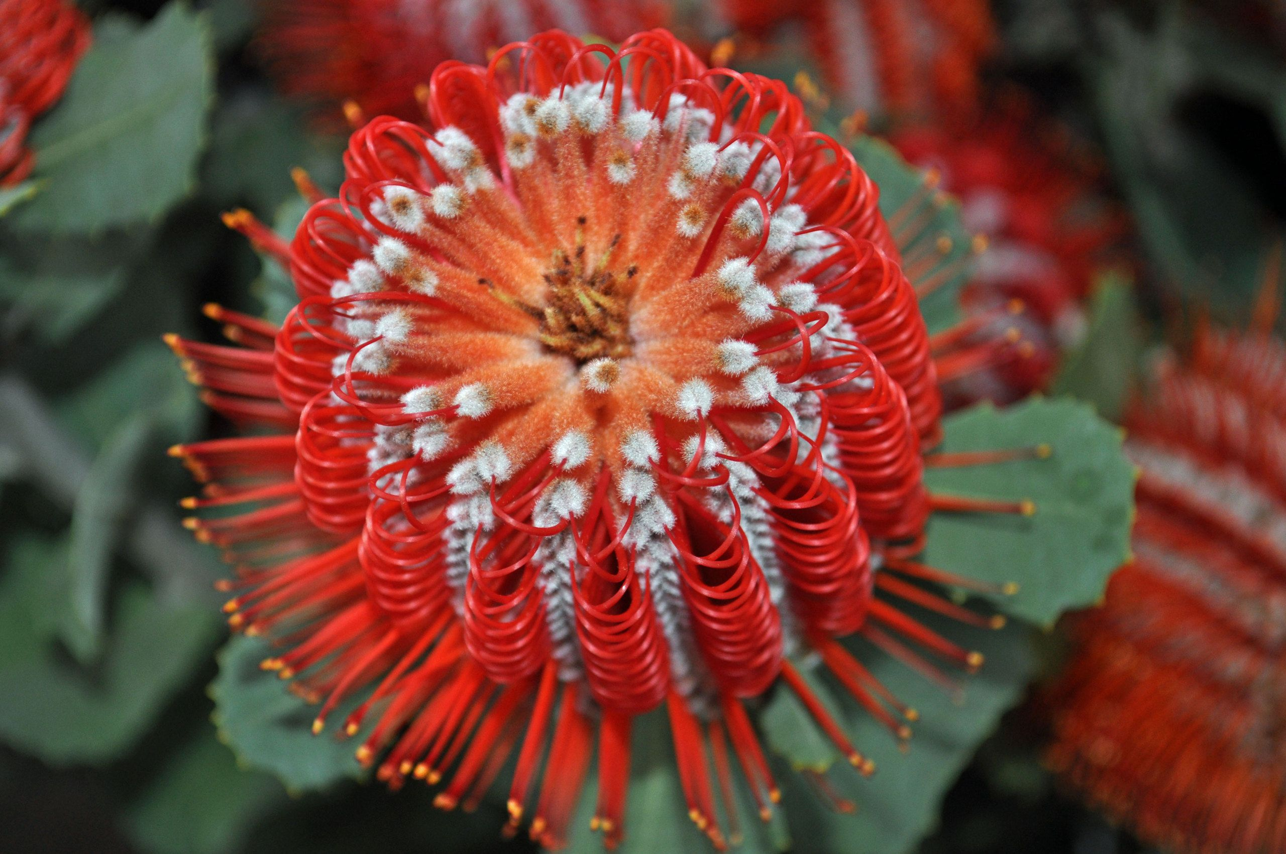 Red Banksia Hookeriana Flower Flowers Pinterest Flower
