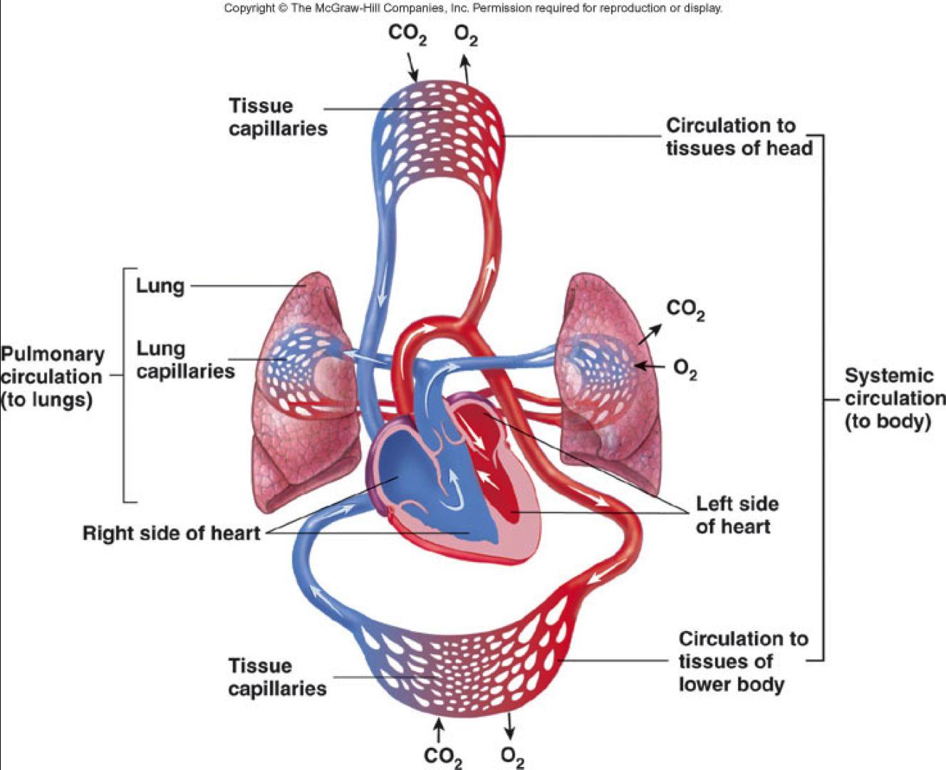 image result for circulatory system diagram [ 1328 x 1081 Pixel ]