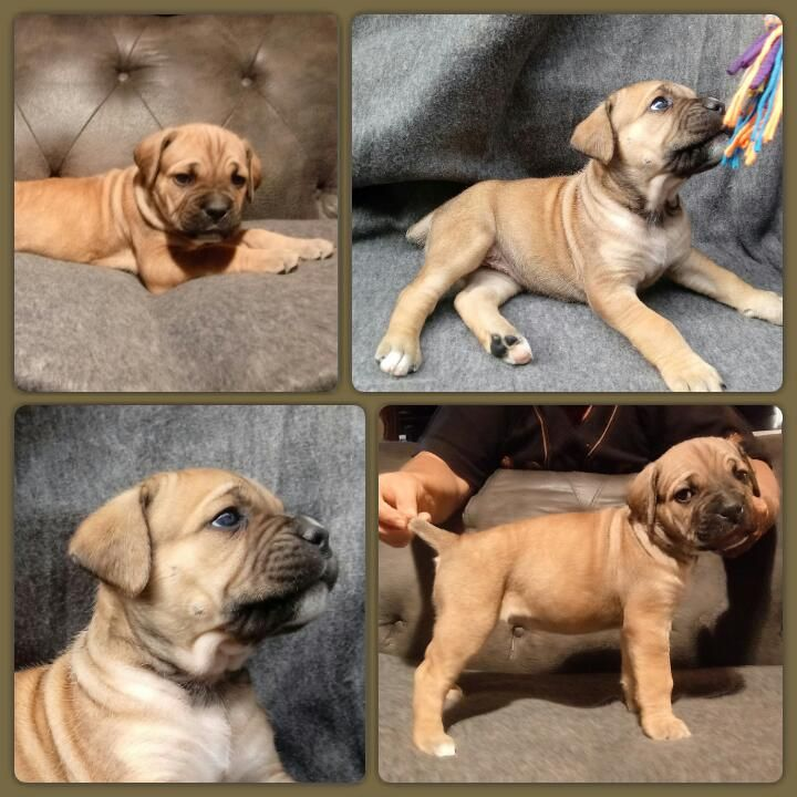 Litter Of 9 Cane Corso Puppies For Sale In Delaware Oh Adn 28386 On Puppyfinder Com Gender Female Age 5 Wee Puppies For Sale Cane Corso Puppies Cane Corso