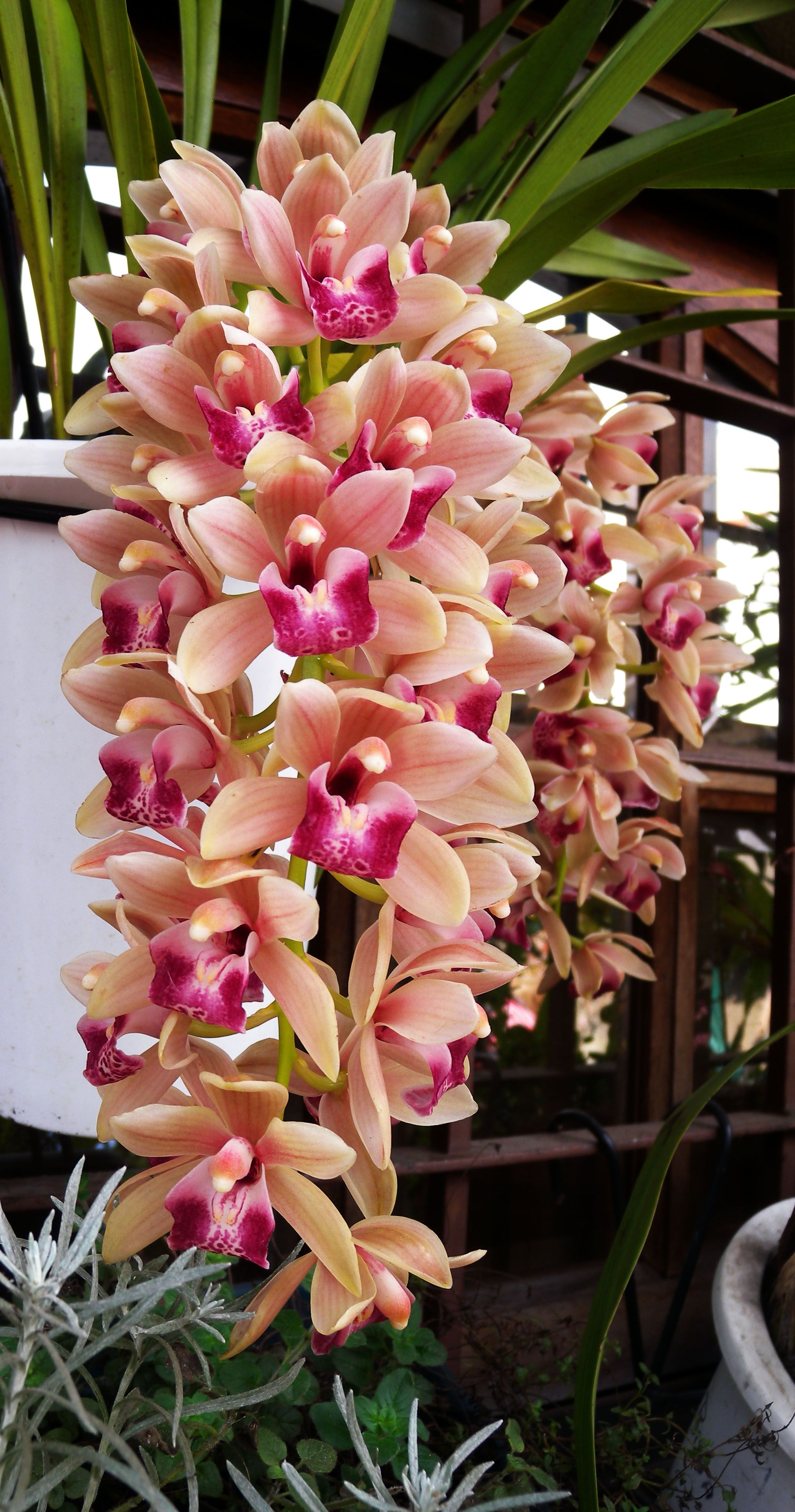 Orchid cymbidium blomster pinterest orchid flowers and plants