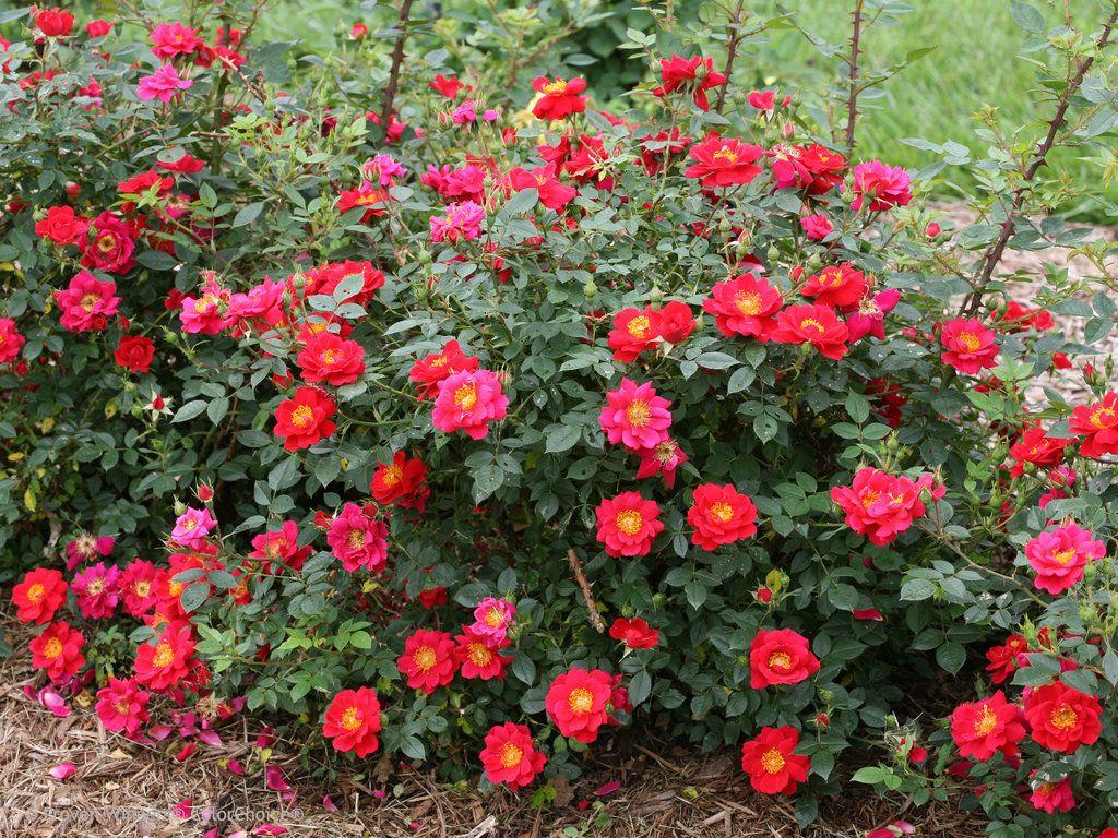 Oso Easy Urban Legend Landscape Rose Rosa X Landscaping With Roses Rose Garden Landscape Red Plants