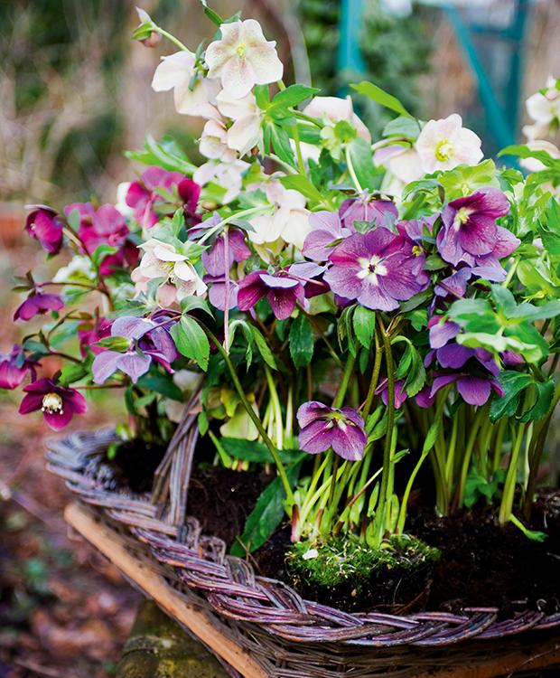 Påskeklokker Og Juleroser The 1 Secret Garden Garden Plants
