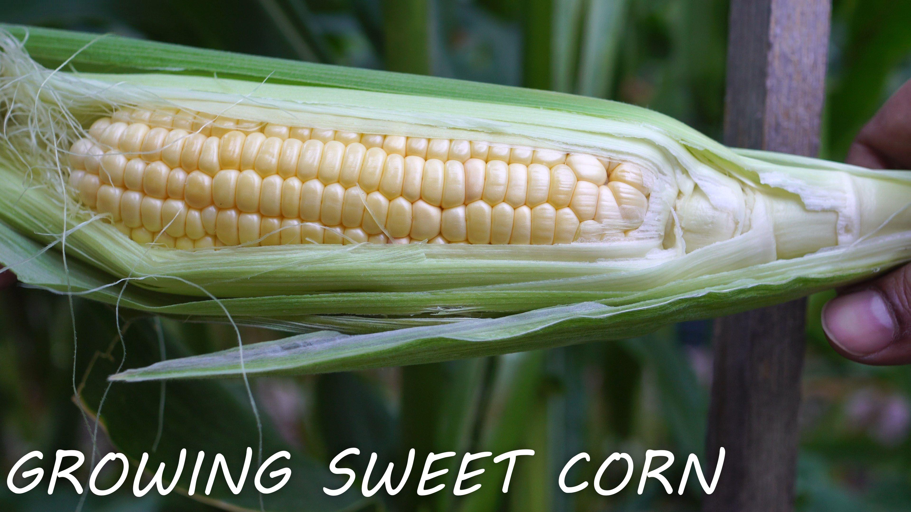 Growing Triple Crown Hybrid Corn gardening garden DIY