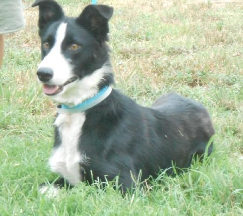 Kate Border Collie Dog Palo Alto Ca Border Collies For Sale